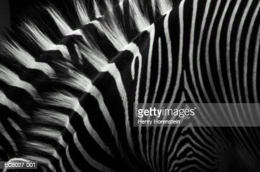 Zebras (Equus sp), close-up : Stock Photo