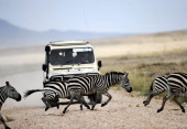 AUSSEILL Zebras cross the road in front of a vehicle in the Serengeti national reserve on October 25 2010 A proposed traderoute to cut right through...