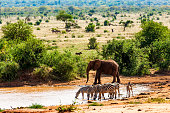 Zebras drinking, Elephant and Warthog at Tsavo East National Reserve at Kenya at Africa