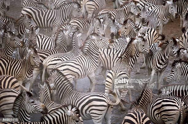 Zebras (Equus quagga) fighting amongst frenzied herd, Makgadikgadi Pans, Botswana