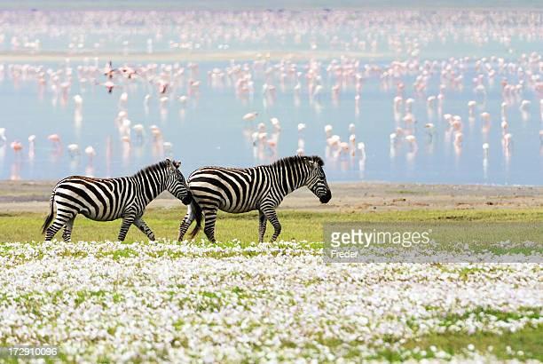 zebras, flores y Flamencos