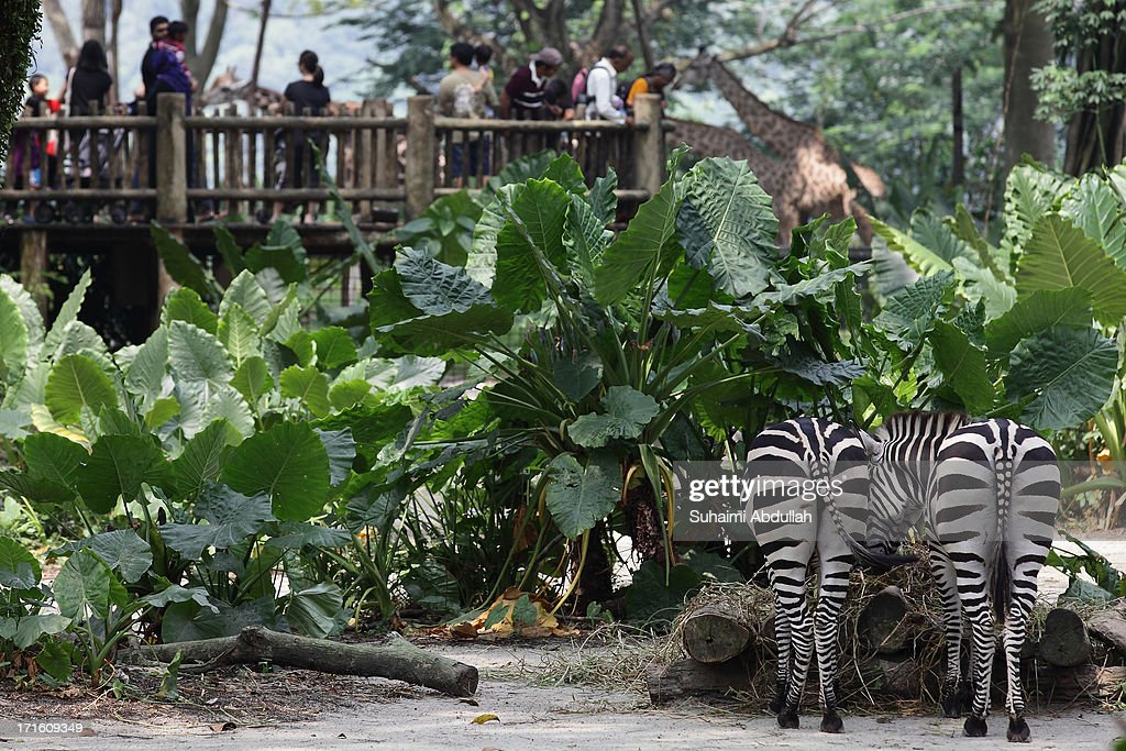 Zebras graze beside to a giraffe enclosure at Singapore Zoo on June 27 2013 in Singapore Home to more than 2800 animals from over 300 species 26% of...