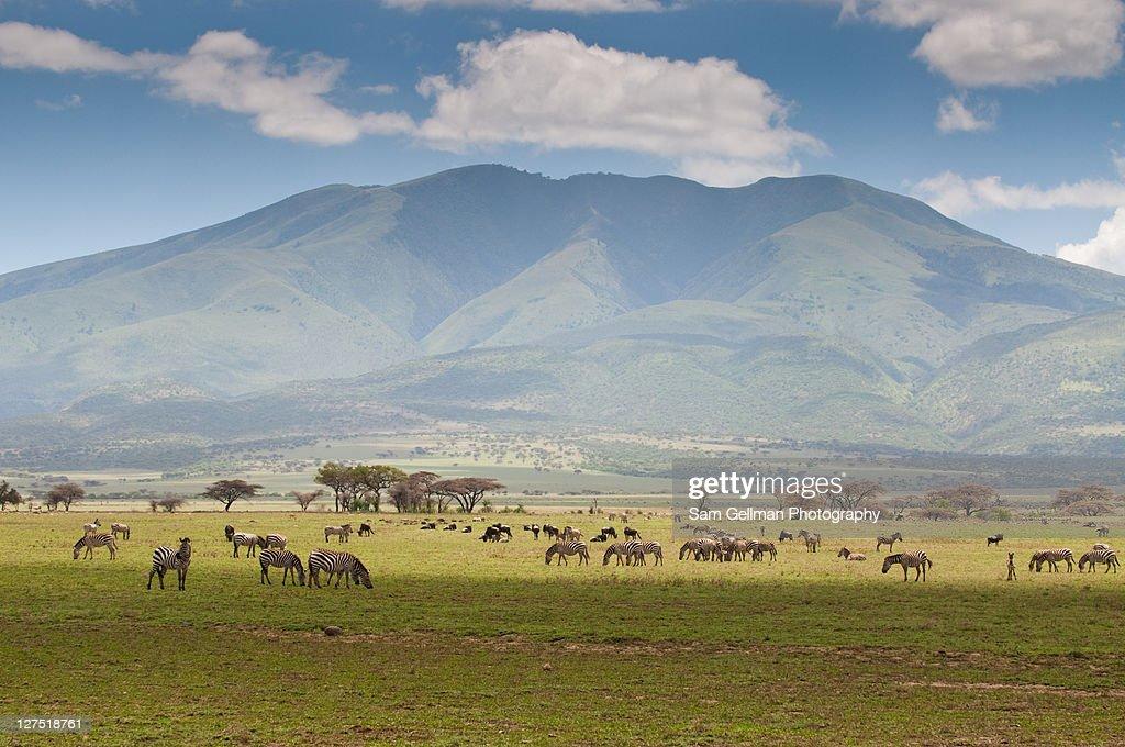 Zebras grazing in fields : Stock Photo