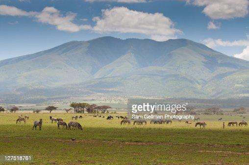Zebras grazing in fields : ストックフォト