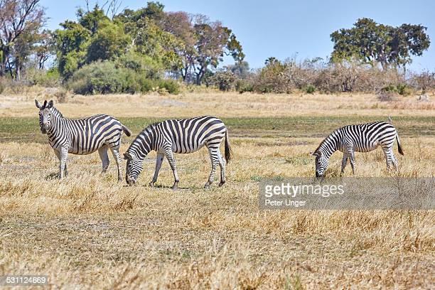 Zebras grazing on grass plains near waterhole