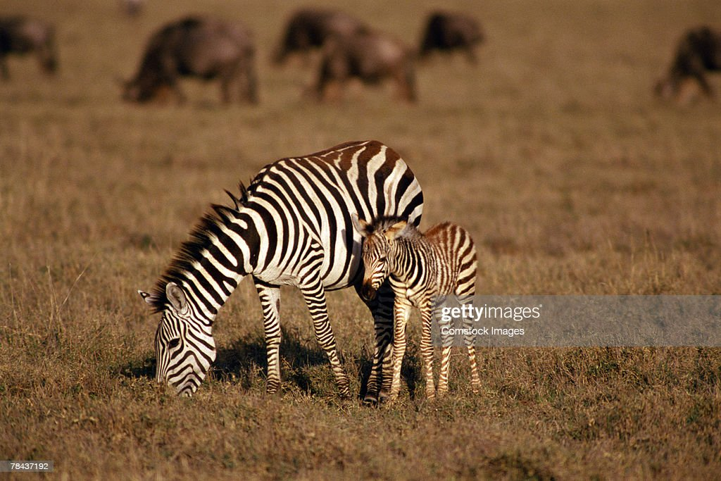 Zebras grazing : Stock Photo