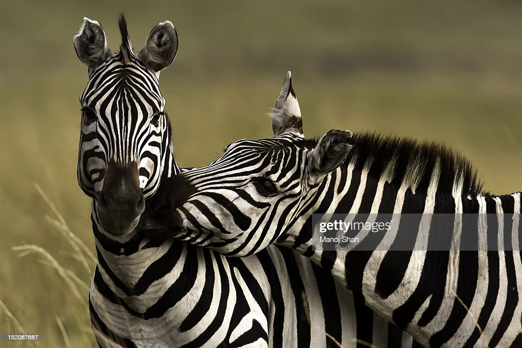 Zebras greeting : Stock Photo