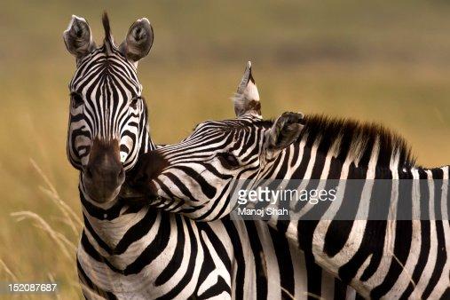 Zebras greeting : Stock Photo