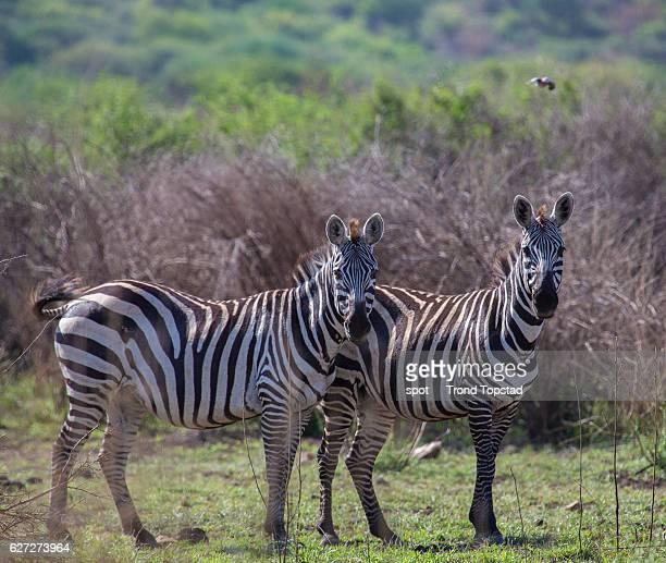 Zebras in Ethiopia