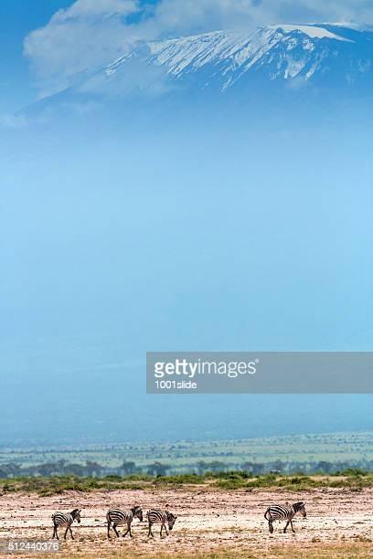 Zebras in front of Mount Kilimanjaro