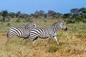 Zebras in Kenya's Tsavo Reserve