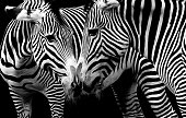 zebras in love in black and white