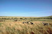 Zebras in Masai Mara Reserve