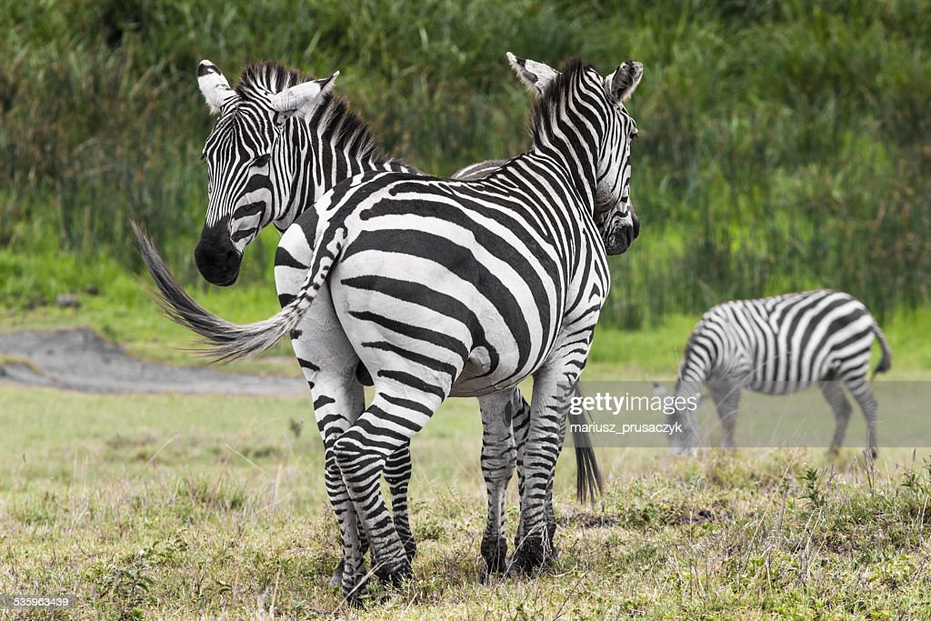 Zebras in Ngorongoro conservation area, Tanzania : Stock Photo