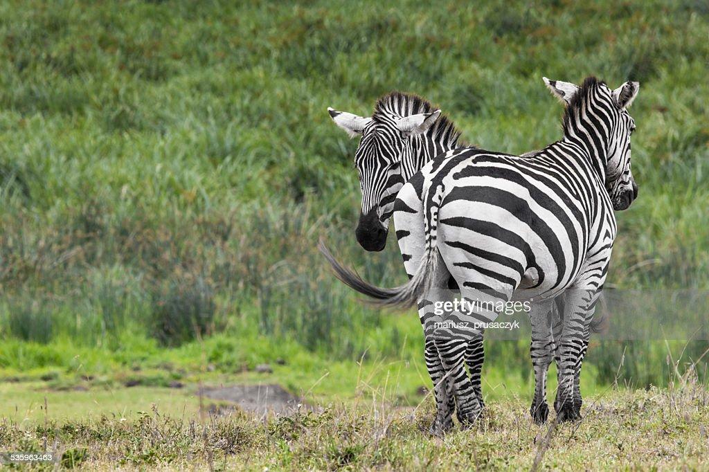 Zebras in Ngorongoro conservation area, Tanzania : Stock Photo