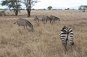 Photo from the african zebras taken from the back in the national park of Serengeti