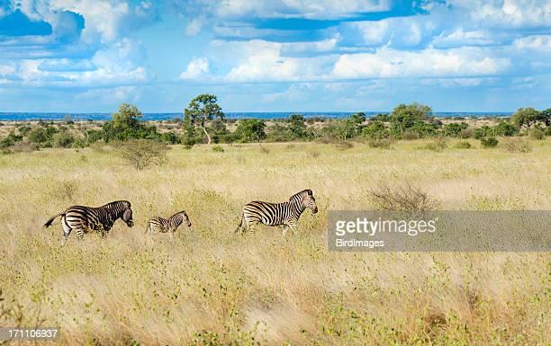 Zèbres dans la savane d'Afrique du Sud