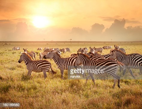 Zebras in the morning : Stock Photo