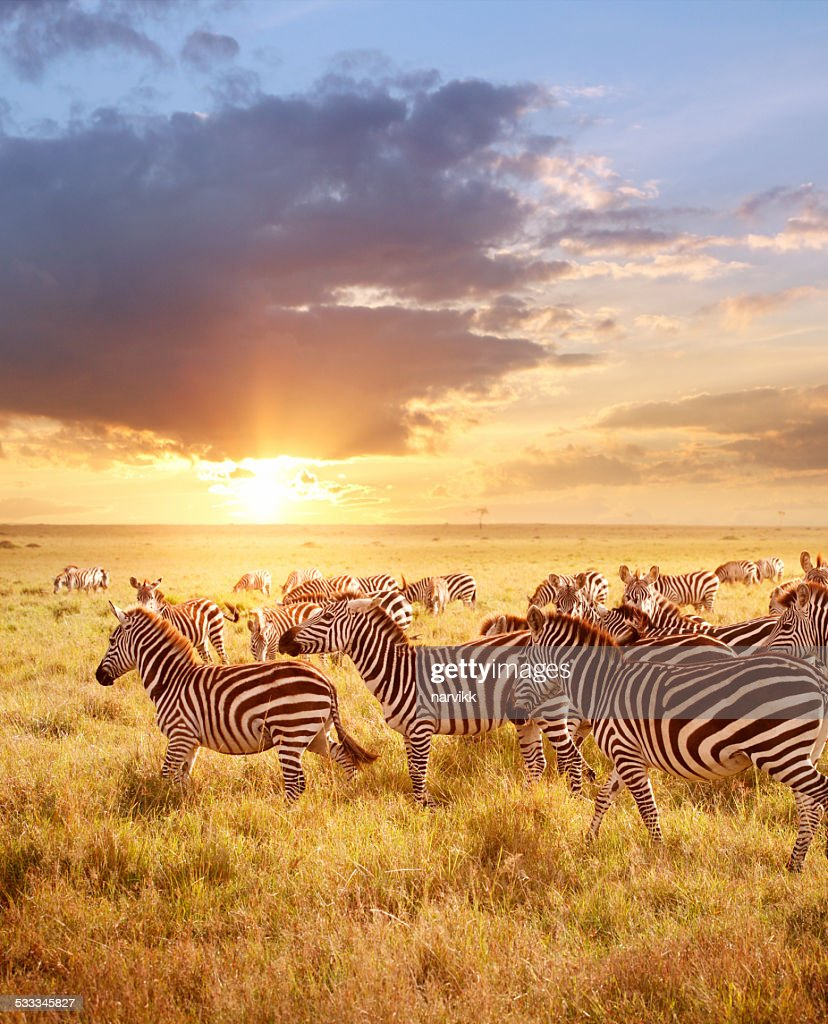 zebra stock photos and pictures getty images