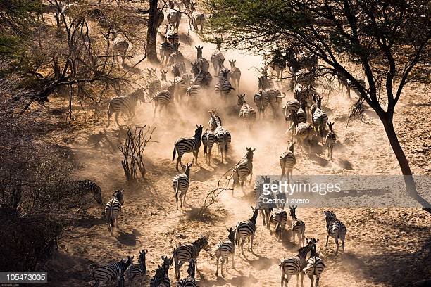 Zebras leaving waterpoint at dusk