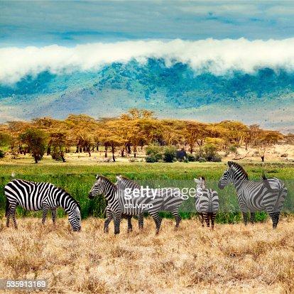 Zebras of Ngorongoro crater : Stock Photo