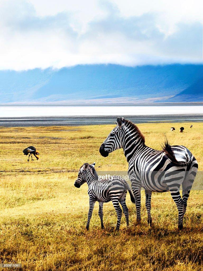 Zebras de Ngorongoro : Foto de stock
