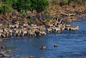 Zebras on a shoreline