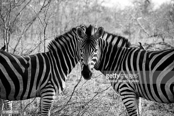Zebras' optical illusion