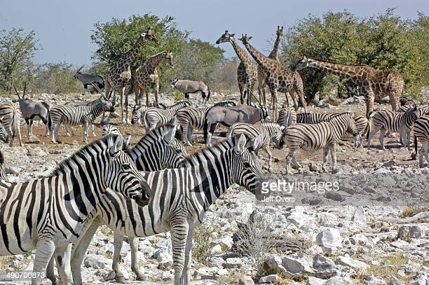 Zebras oryx and giraffe take a drink a waterhole in the grassland of the Etosha National Park Namibia Watering hole zebra antelope