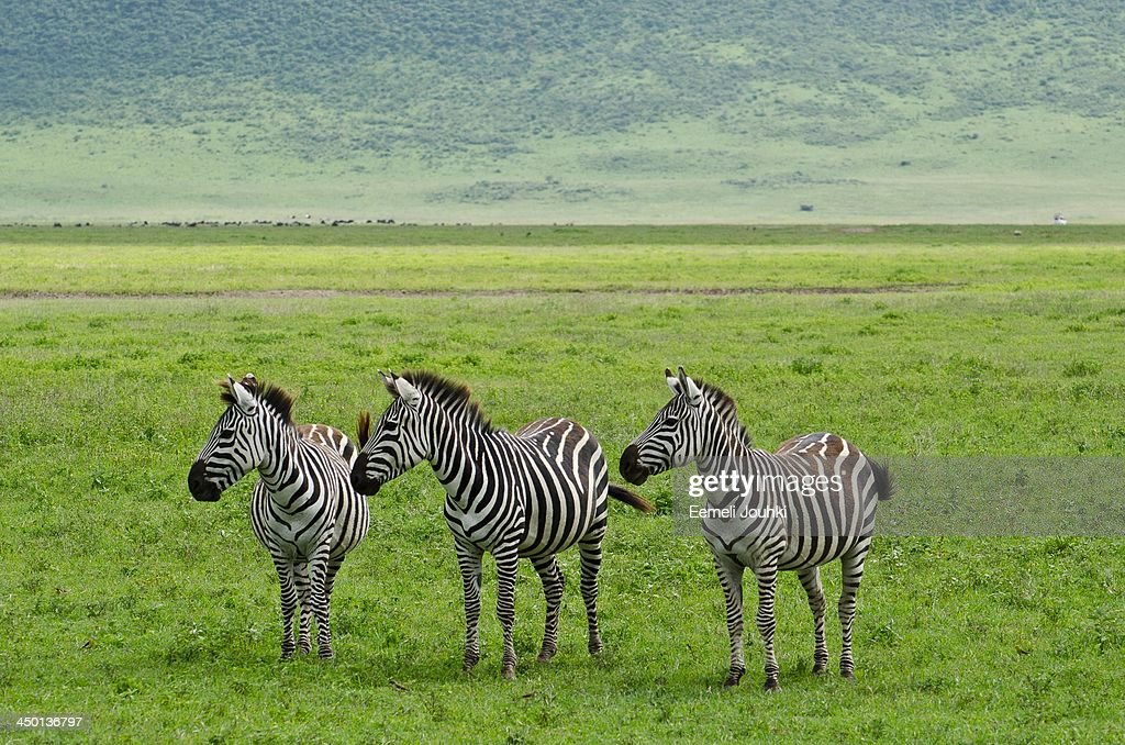 zebras : Stock Photo