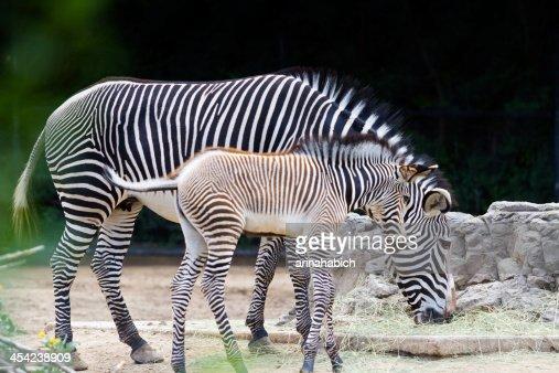 Zebras : Stock Photo