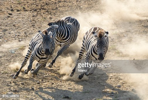 zebras : Foto de stock