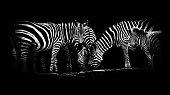 Zebras bei der Fütterung