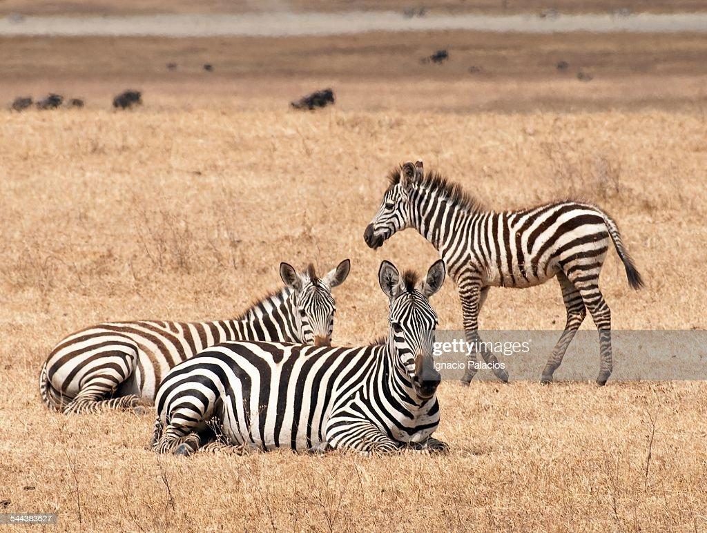 Zebras plains zebra in Ngorongoro crater