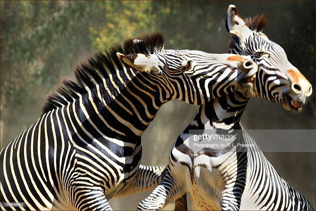Zebras playing in field : Foto de stock