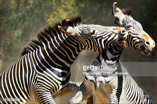 Zebras playing in field : Stock Photo
