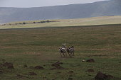 Two zebras are running one next to the other in the conservation area of Ngorongoro crater in Africa.