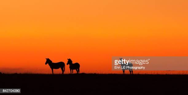 Zebras silhouetted