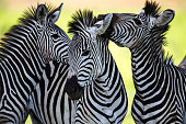 A high resolution image of a zebra grazing on grass