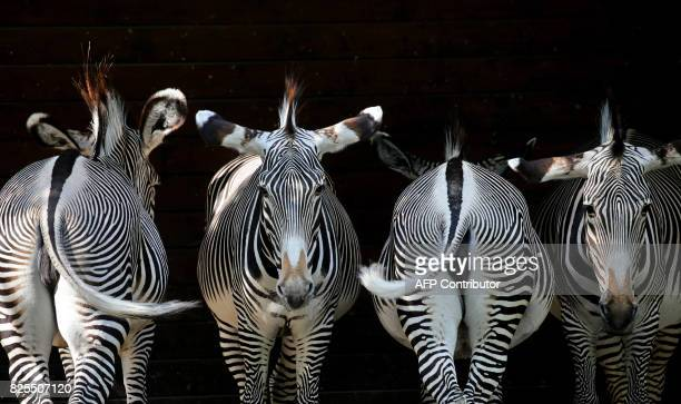 Zebras stand in their enclosure at the zoo in Augsburg southern Germany on August 2 2017 / AFP PHOTO / dpa / KarlJosef Hildenbrand / Germany OUT
