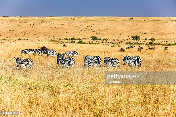 Zebras - watching and feeding