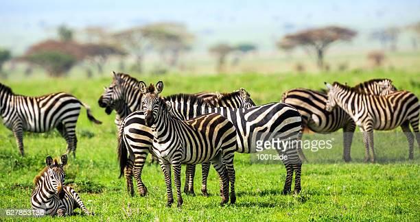 Africano Acacia Zebras con árboles en Savannah