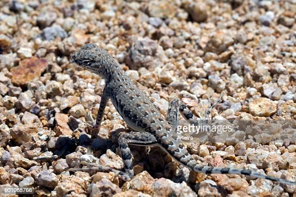 Zebratailed lizard basking on rock endemic to the southwestern United States and northwestern Mexico