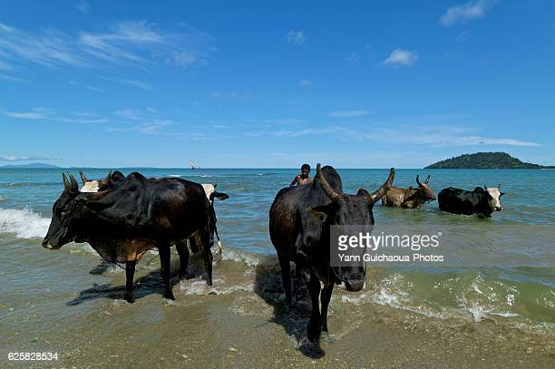 Zebu, Bos Primigenius Indicus, Island Of Nosy Be, Madagascar