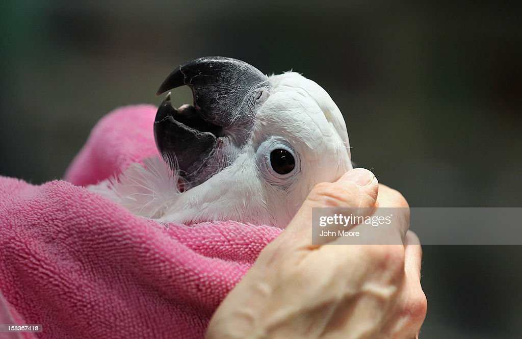 Zeek, a male cockatoo, awaits a botox injection to treat an abdominal condition at the Animal Medical Center on December 12, 2012 in New York City. The non-profit Animal Medical Center, established in 1910, has 80 veterinarians in 17 specialty services that treat up to 40,000 animal visits annually. Clients bring in their pets from around the country and world to the teaching hospital on Manhattan's Upper East Side for specialized high tech treatment. The American Pet Products Association estimates that Americans would spend more than $50 billion on their pets in 2012, $14 billion of that in veterinary care alone.