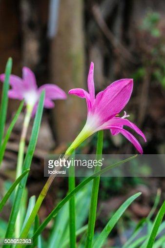 Zephyranthas rosea flowers : Stock Photo