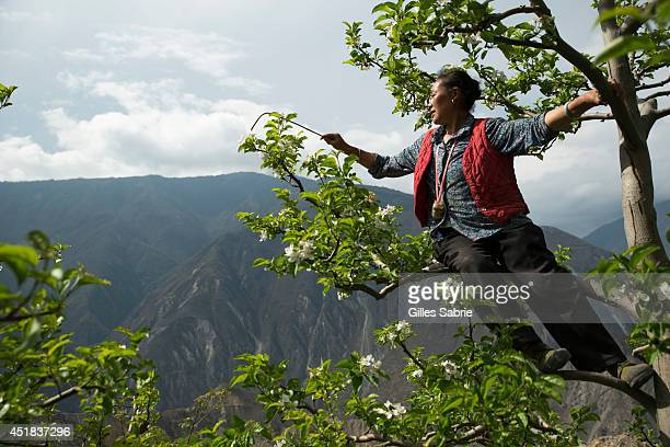 Zhen Xiuqiong 56 a local farmer is pollinating by hand her apple trees The farmers from this village have been using handpollination for the past...