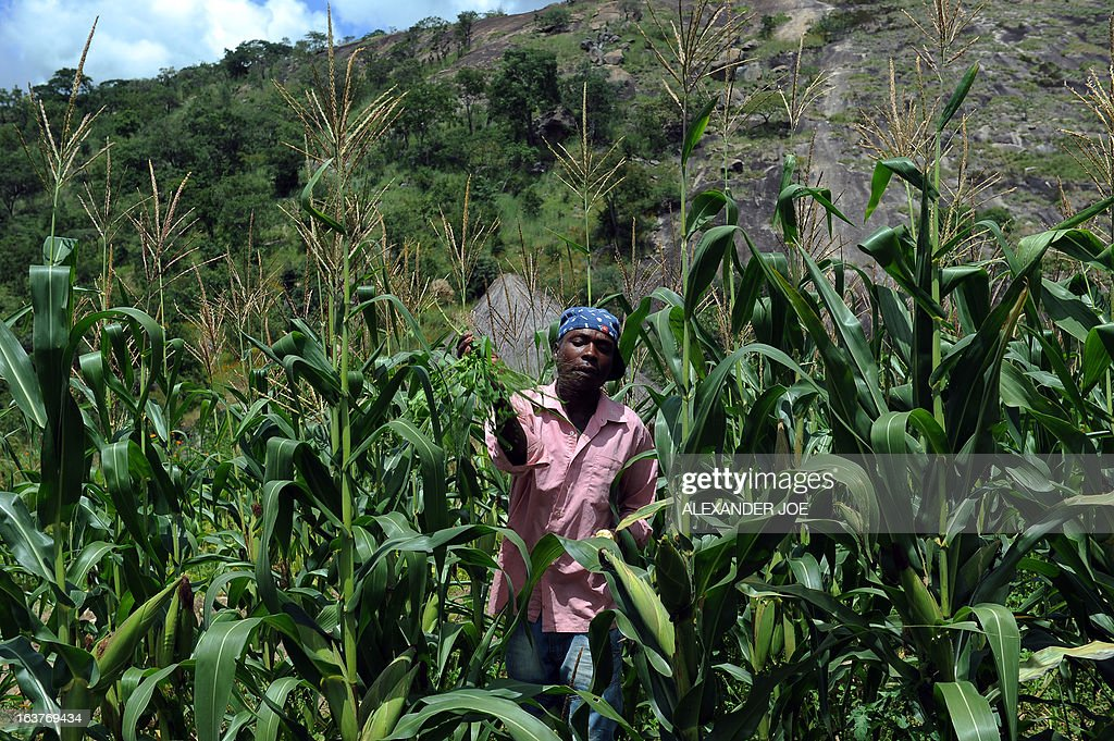 Zimbabwean farmer Evans Gororo works on March 15, 2013 in a corn field in the village of Chinamhora, Zimbabwe. Chikata who says he has not seen or read the draft constitution says he will vote in the referendum. 'I only heard about it on radio but I am going to vote tomorrow.' He would not say whether he would vote to endorse or reject the draft. The villagers are among hundreds of thousands of Zimbabweans expected to vote in the referendum without having read the draft charter at all or without having scrutinised it enough to make an informed choice. AFP PHOTO / ALEXANDER JOE