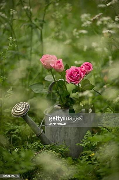 Zinc watering can and pink roses in English garden