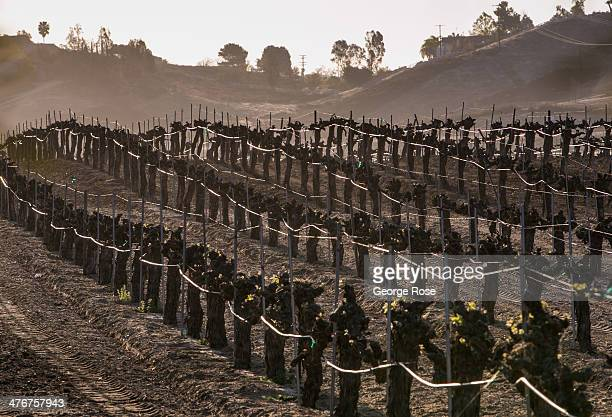 Zinfandel grapevines are viewed at sunrise on February 24 2014 in Temecula California Temecula Valley Southern California's Wine Country located 90...